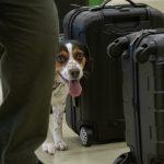 Dicas para viajar de avião com o seu animal de estimação